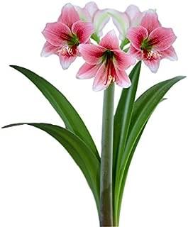 Fragrant Pink Amaryllis Misty - 20+cm Bulb Exotic Amaryllis |Ships from Easy to Grow TM