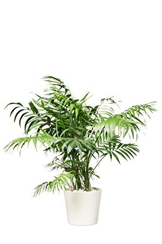 EVRGREEN Bergpalme Pflegeleichte Kleine Zimmerpflanze in Hydrokultur als Geschenk-Set inkl. Keramiktopf Creme