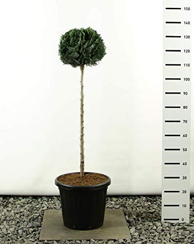 Säulen-Scheinzypresse-Gartenbonsai-Pon Pon-Formschnitt - Chamaecyparis lawsonia Columnaris - Kugel auf Stamm - Höhe 125-150cm - Stamm 100 cm - Topf 20 Ltr.