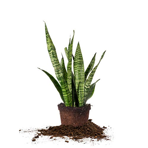PERFECT PLANTS Sansevieria Zeylanica Snake Plant | 16in Tall | Easy Care | Thrives in Low to Bright Light, Air Purifying...