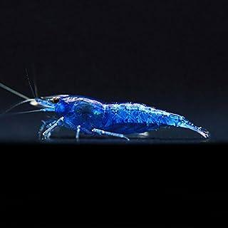 【BeeQuest】ベルベットブルーシュリンプ(ディープブルー) 10匹+補償1匹(飼料3品付き)[生体]