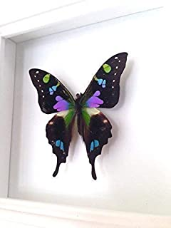 spotted swallowtail butterfly