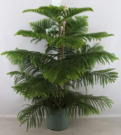 Araucaria heterophylla, Zimmer-Tanne, Zimmer-Araukarie, Norfolk-Tanne XXL Hydro-System