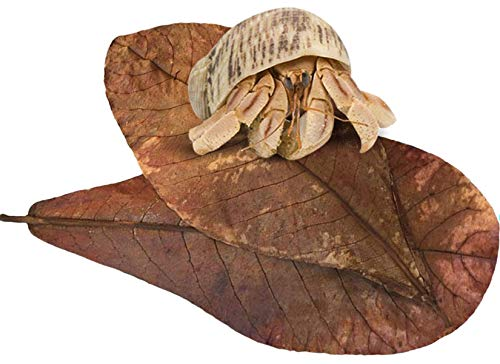 SunGrow Hermit Crab Indian Almond Leaves, 7 Inches Long, Dried Leaves for Added Humidity, Delicious Crab Treat and Source of Cellulose, Aids Recovery Process, 10-Pack