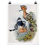 Bilderwelten Poster John Gould - Hoopoe Alto, Acabado Satinado Autoadhesivo 60 x 45cm