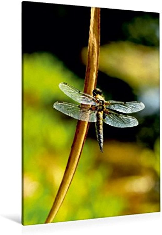 Calvendo Premium Textil-Leinwand 80 cm x 120 cm hoch, Libelle am Teich   Wandbild, Bild auf Keilrahmen, Fertigbild auf echter Leinwand, Leinwanddruck  Sommerimpressionen Natur Natur