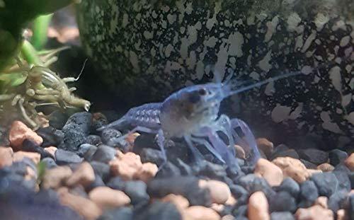 Wirbellosenzucht-Foltis Procambarus alleni - Blauer Floridakrebs