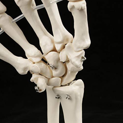 Modelo de Mano esquelética médica Blanca de tamaño Natural para la enseñanza de la Salud física