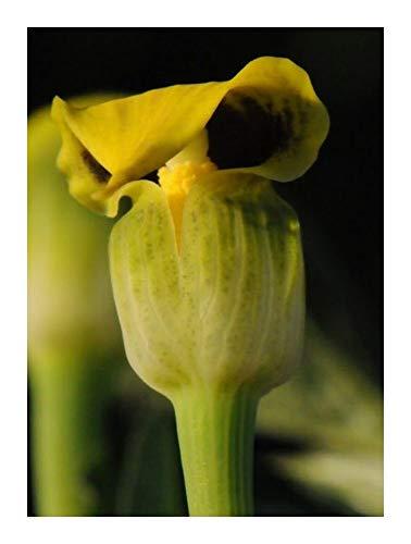 Arisaema flavum - gelbe Kobralilie - 10 Samen