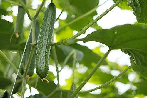 Concombre\