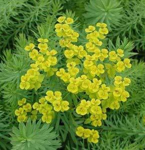 Steppen Wolfsmilch - Euphorbia seguieriana