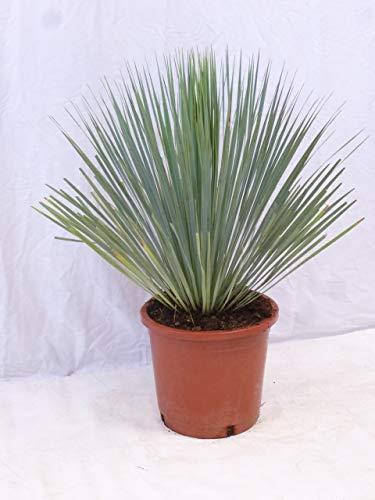 [Palmenlager] Yucca rostrata 90 cm - Winterharte Palme/Mexiko // -20°C
