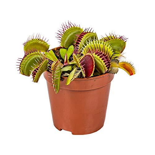 Fleischfressende Pflanze Dionaea pro Stück - Innen- und Außenpflanze im Aufzuchttopf cm6 cm - 10 cm