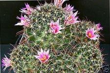 Mammillaria mainiae coussin cactus exotique collecteur rare cactus graines 100 graines