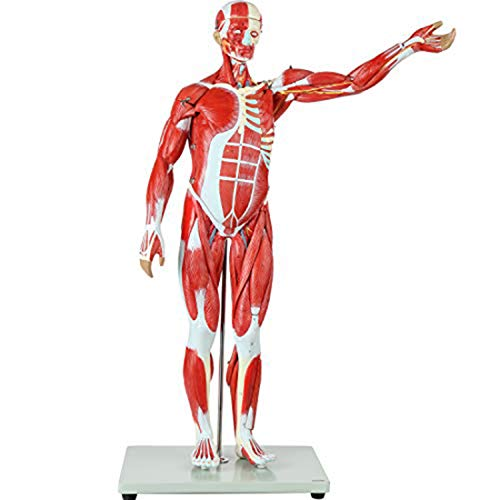 DMYY Scientific Human Muscle And Organ Model, 27-Part Half Life-Size Muscular Figure with Removable Organs And Muscle Anatomy, Fine Arts Art Sculpture Medical Teaching Reference Tools