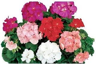 CAPPL Geranium Ringo 2000 Mix Flower Seeds, (Qty: 1000 Seeds)