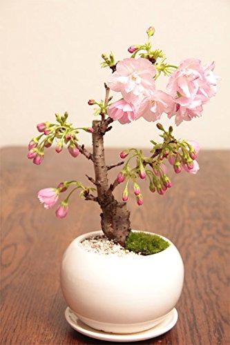 一才桜 旭山桜 受け皿付白色まんまる鉢 自宅サクラお花見 卓上盆栽ぴったりギフトプレゼントに