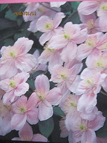 Clematis montana Mayleen - Bergwaldrebe Mayleen