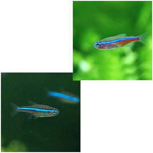 (熱帯魚)グリーンネオンテトラ(ワイルド)(3匹) 北海道航空便要保温