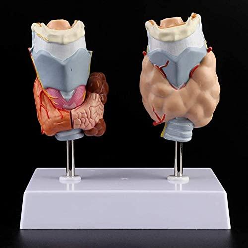 Modelo de patología tiroidea, Modelo de la Garganta de la Enfermedad endocrina Modelo de la tiroides para la Enfermedad de la tiroides médica Modelo de Juguetes de enseñanza 421