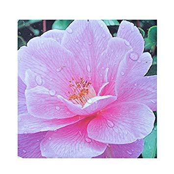 SANHOC Samen-Paket: Camellia x williamsii 'Spende' 15cm Topf SizeSEED