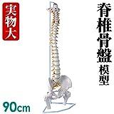 実物大 脊髄骨盤模型 90cm 吊り下げ 台座付き 後頭骨 ~ 股関節 男性骨盤 脊柱可動 ヘルニア病部 脊髄神経根 椎骨動脈 椎間板