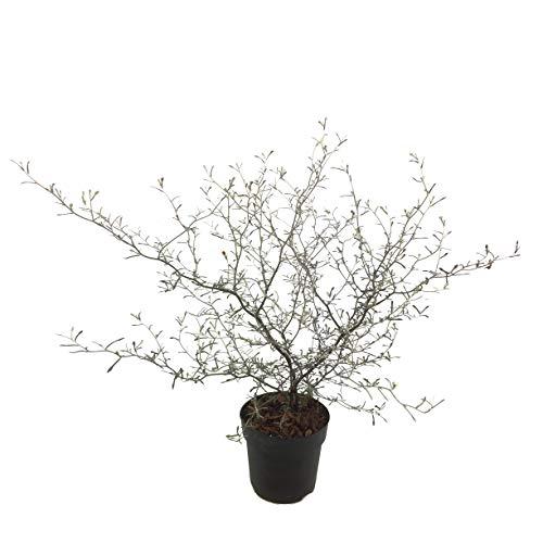 Zimmerpflanze von Botanicly – Zickzackstrauch – Höhe: 10 cm – Corokia Cotoneaster