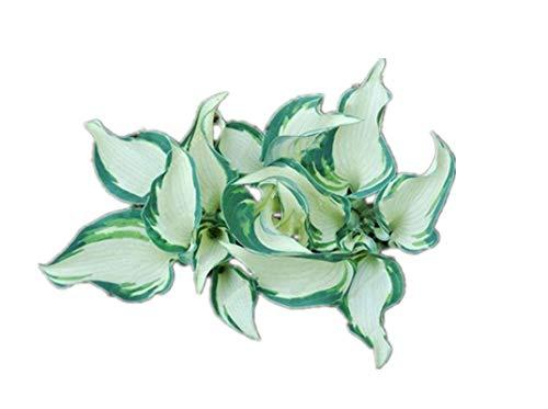 KINGDUO Egrow 100Pcs Hosta Garden De Graines Plantes Vivaces Plantes Vertes Plantain Lily Flower Seeds Mixte Couleur-1