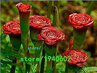 SEEDSのPLAT会社-レア赤カーネーション「赤いアップランプバルブ」多年生の花の種、プロフェッショナルパック、50個の種子/パック、盆栽香りの花