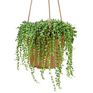 Fash Lady - Perle Senecio Rowleyanus - Semi Perla Chlorophytum - Pianta succulente, piante in vaso anti-radiazioni, 100 pezzi