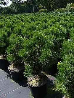 Bosnische Zwergkiefer Malinki - Pinus leucodermis Malinki 25-30cm Preis nach Größe 80-100 cm