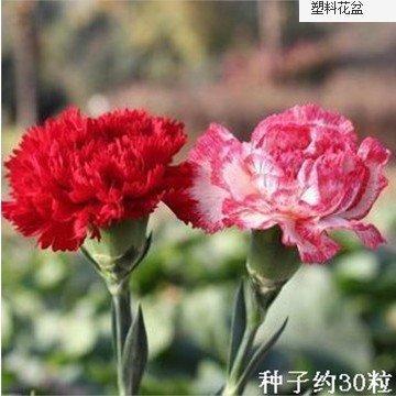 Couper Carnation Fleur Graines fleurs et des graines Carnation Graines Graines Jardin Décoration Bonsai Fleur