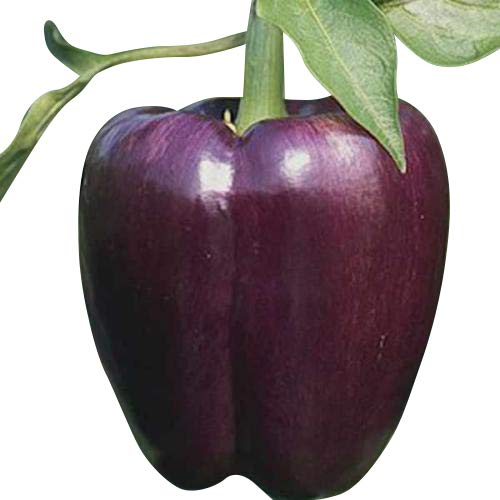 Paprika Violett (Purple-Beauty) 10 Samen