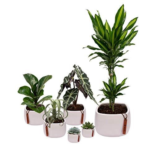 Set van 6 planten met bijpassende witte plantenpotten - kamerplanten voor binnen met verschillende groottes - Kurt