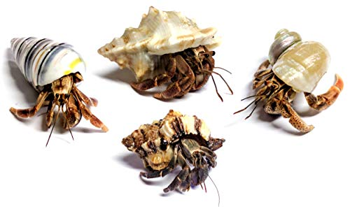 Nature Gift Store 4 Live Pet Hermit Crabs Shipped Now-Purple Pincher Land Crabs with 4 Extra Shells