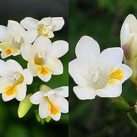 フリージア フリージア球根 豪華な庭の植物 ガーデン用 室内庭園 装飾用-5 球根,ホワイト