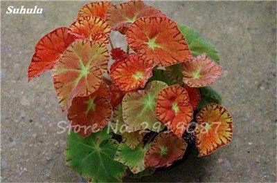 Janpanse Bonsai coleus Seeds 50 Pcs Plantes feuillage couleur parfaite arc Graines Belle mixte Fleur Flore Jardin Sement 8