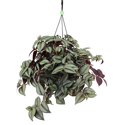 Zimmerpflanze – Dreimasterblume in Blumenampel als Set – Höhe: 25 cm, Tradescantia zebrina