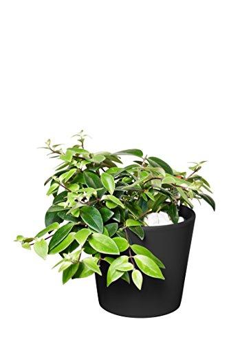 EVRGREEN   Zimmerpflanze Schamblume in Hydrokultur mit violettem Topf als Set   Aeschynanthus lobbianus