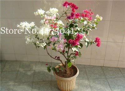 Bloom Green Co. Venta caliente Drosera Peltata Bonsai Planta en maceta Circular Moho Plantas carnívoras Jardín Bonsai 100 pcs/Bolsa Flor de planta de jardín: 3