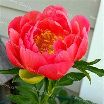 Vistaric 10pcs / sac mixte couleur pivoine graines Chinois Rose graines Arbre Pivoine Graines belle Décoration bonsaï fleur plante pour la maison jardin 1