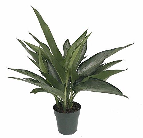 Bahía de plata chino Evergreen – planta Aglaonema – bajo luz – 6 ...
