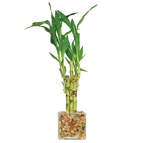 Brussel's Live Lucky Indoor Bamboo - 5 Stalk Straight - 3 Years Old; 4' to 6' Tall with Decorative Container