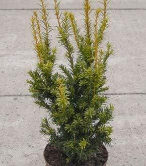 Aufrechte Goldeibe Golden Crown 25-30cm - Taxus baccata
