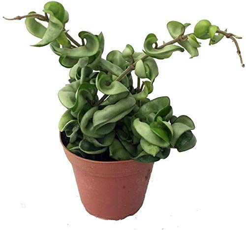 AchmadAnam Live Plant - Hoya Indian Rope Plant Hindu Exotic Easy Blooming Size...