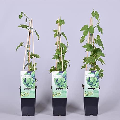 Hopfen - Humulus lupulus 40-60 cm - starkwachsende Kletterpflanze
