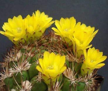 Weingartia lanata Seed Rare Cactus frais Cacti Agave 15 Graines