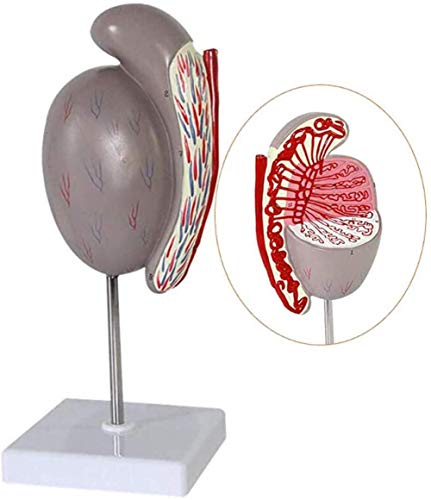XUHRA Testicular Structure Model Zoom in 3.5 X Genitourinary Urinary System Model Scientific Anatomical Human Model for Medical Educational Training