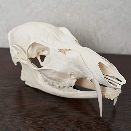 Siberian Musk Deer Taxidermy Skull - Musk-Deer Cleaned Skull, Jaws, Bones, Skeleton, Teeth for Sale - Real, Decor, LIFESIZE, Genuine - ST6679