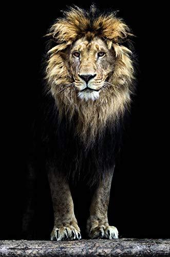 Bönninghoff Keilrahmen 78x118cm | Löwe schwarzer Hintergrund Afrika König der Tiere | Kunstdruck gespannt auf Keilrahmen | Motiv 7811978